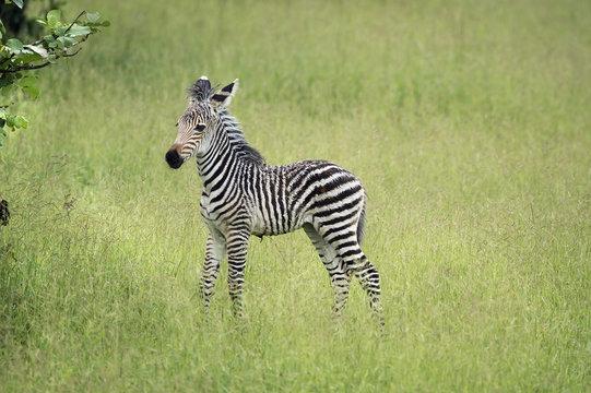 Crawshays zebra foal (Equus quagga crawshayi), South Luangwa National Park, Zambia