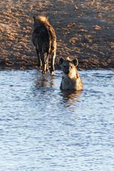 Hyena at Water Hole - Etosha Safari Park in Namibia