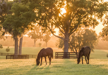 Thoroughbred yearlings in pasture at sunset Wall mural