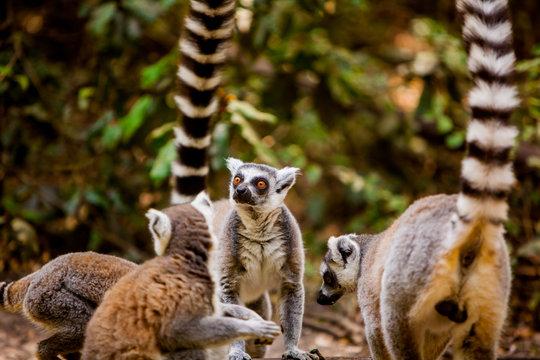 Madagascar lemurs, Johannesburg