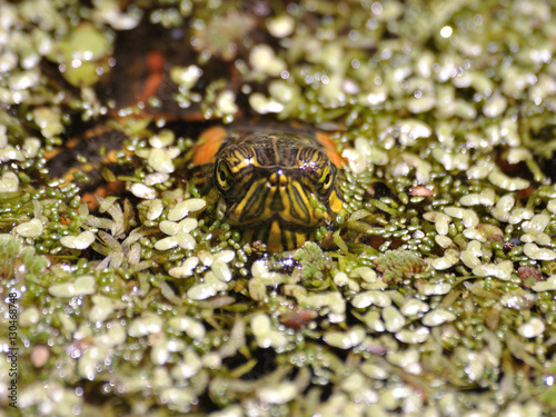 head of water turtle living in the wild with many tiny aquatic plants ...