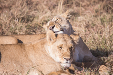 lionesses licking the face, in the national park of Masai Mara K