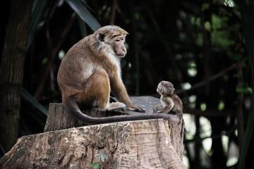 Sri Lanka: monkey and its baby in RoyalBotanicGardens, Peradeniya, Kandis