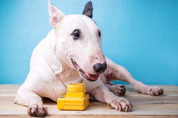 english bullterrier dog with toy camera on wooden floor backgrou