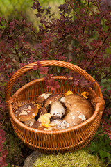 Wicker Basket With Forest Edible Mushrooms