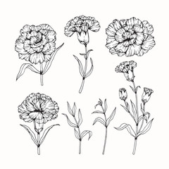 Hand drawing flowers. Carnation flower vector illustration and clip art on white backgrounds.