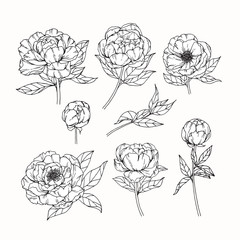 Hand drawing flowers. Peony flower vector illustration and clip art on white backgrounds.