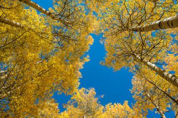 Beautiful Aspen tree