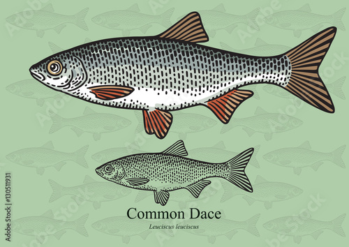 Common Dace. Vector illustration for artwork in small sizes. Suitable ...