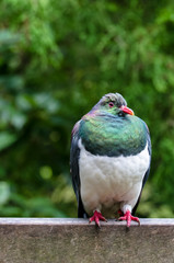 Close-up of New Zealand wood pigeon