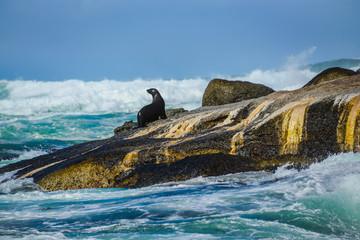 Fototapeta premium Cape Fur Seal (Arctocephalus pusillus) at Duiker Island, South Africa