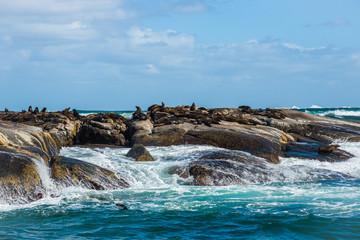 Cape Fur Seals (Arctocephalus pusillus) at Duiker Island, South Africa