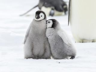 Fond de hotte en verre imprimé Pingouin Emperor Penguins on the frozen Weddell Sea in Antarctica