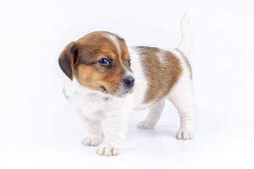 Little puppy standing winking and looking at camera on gray neutral background