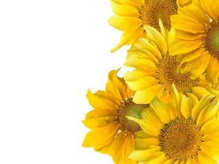 sunflowers with white background.