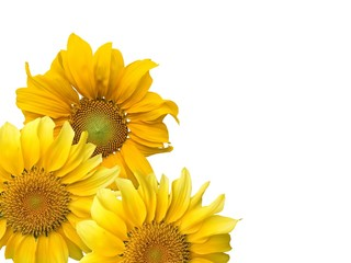 Texture of sunflowers and white background.