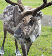 This large reindeer is molting during the summer so his coat is very rough and mottled looking. He has a large rack of antlers in a green summer pasture. Norway.Tromso Lapland