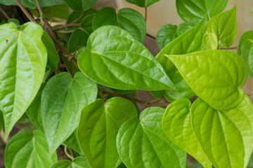 Fresh green betel leaf...