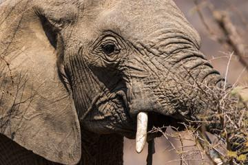 Elephant Portrait eating from bush