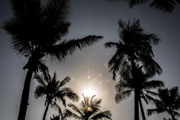 coconut palm tree on blue sky Salalah Oman