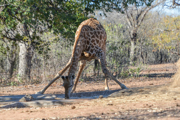 Giraffe drinking water