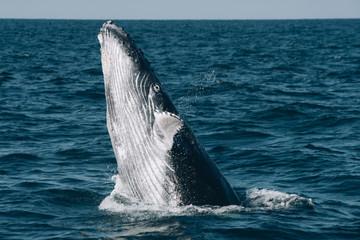Humpback whale breaching in sea