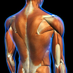 Male Shoulder and Back Muscles