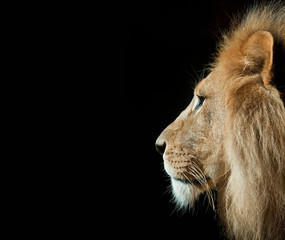 Isolated Lion Head Profile