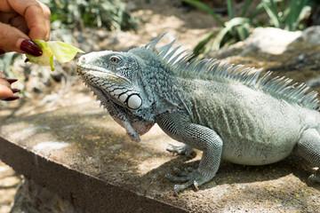 Kokomo Beach Iguana