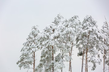 Winter forest with snow covered branches