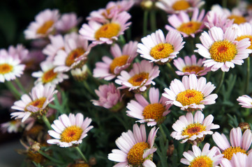 Many marguerite daisy or argyranthemum frutescens or dill daisy pink flowers with yellow
