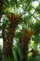 Date fruit palm tree with green