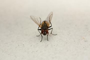 Little Red Eye Fly