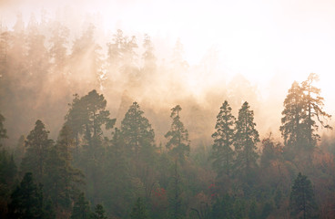 Majesty of nature: misty forest at sunrise. Himalayan pine-trees and rhododendrons.