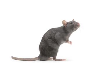 rat isolated on white background Fototapete