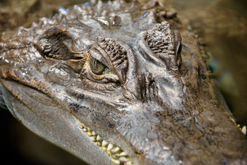 Spectacled caiman in an aquarium close up shot