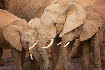 Herd of elephants in Addo Elephant National Park, South Africa
