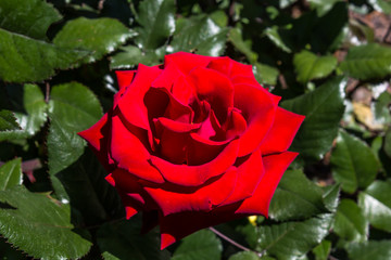 Single Red Rose In Garden