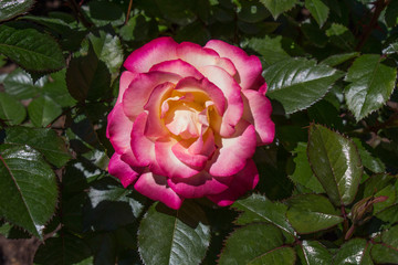 Single Pink and White Rose In Garden