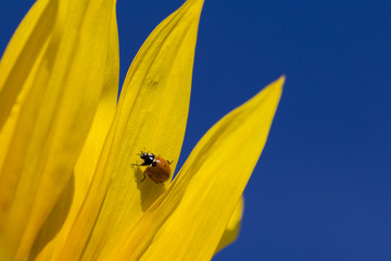 Ladybug and yellow sunflower against a blue sky. Ukraine
