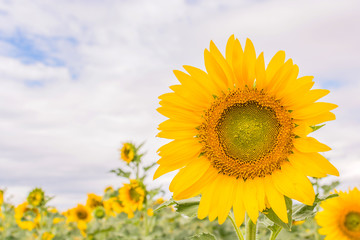 Sunflower field with clouded sky