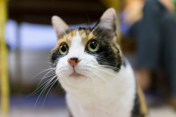 Closeup of cute calico cats face with dilated pupils