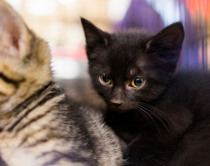 Small black kitten cuddling with siblings