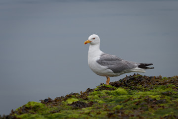 Grey and white seagull on the rocks