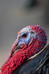 Profile of the colorfully head of a turkey
