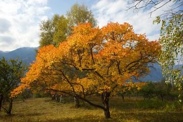 Autumn tree in the Altai region in Russia, at Teletskoye lake