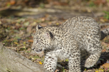 young persian leopard