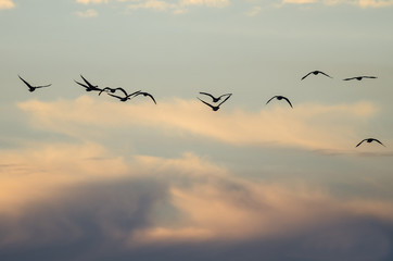 Large Flock of Geese Flying in the Beautiful Sunset Sky