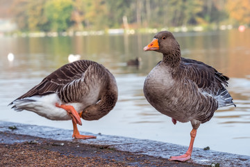 Wild geese standing on one leg, Hyde Park, London