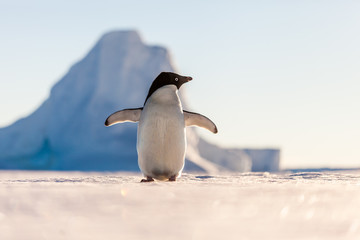 Cheering Adelie penguin